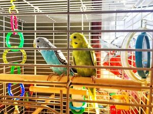 Budgies, cage, and accessories