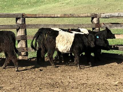 Belted Galloway's
