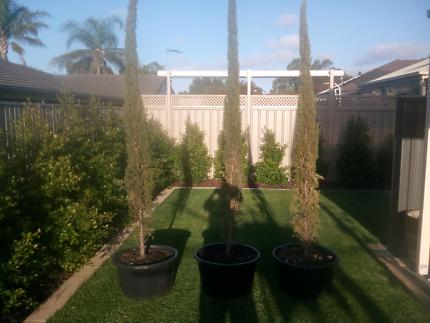 Established Pencil Pines