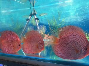 AAA Penang DISCUS 15 to 17cm - ALL  $170 each X LARGE DISCUS FISH Como South Perth Area Preview