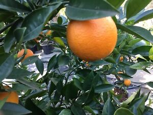 Washington Navel Seedless  Glenorie The Hills District Preview