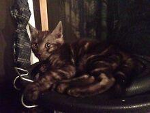 Cute Kitten Maroochydore Maroochydore Area Preview