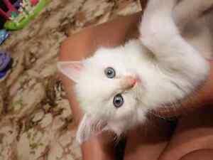 Ragdoll x birman kittens Brinkworth Wakefield Area Preview