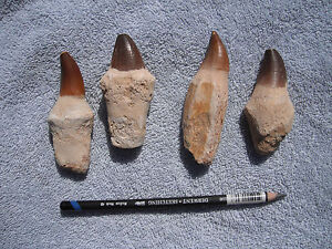 Genuine (Dinosaur) Mosasaur Tooth With Bone Attached - Guaranteed Real Teeth