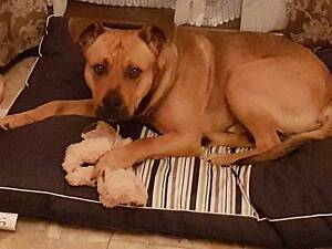 DOG NEEDS NEW HOME REGRETTABLE Blakeview Playford Area Preview