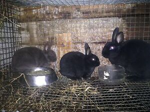 Cute and soft Mini Rex rabbits for sale
