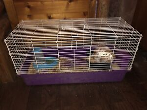 2 Year Old Male Holland Lop Bunny