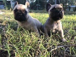 Pedigree French bulldog puppies Gatton Lockyer Valley Preview