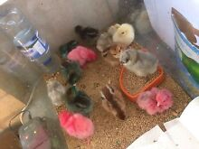 Day old chicks for sale Joyner Pine Rivers Area Preview