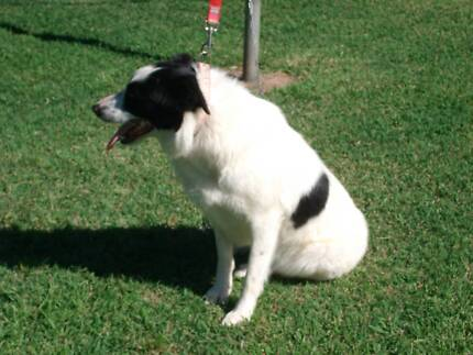 Female Border Collie free to a good home