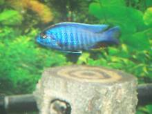 Large male lake malawi cichlids need gone tys. Ottoway Port Adelaide Area Preview
