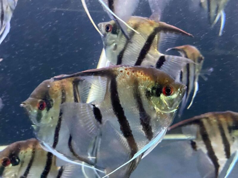 Manacapuru Red Back angelfish  2 pcs    2-3 inches BODY size