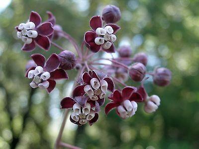 Asclepias Cordifolia Heartleaf Milkweed  Monarch Host Plants  10 Seeds