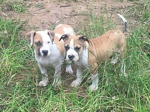 AMERICAN STAFFY PUPPIES Campbelltown Campbelltown Area Preview