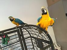 Blue and gold macaw unrelated pair West Melbourne Melbourne City Preview