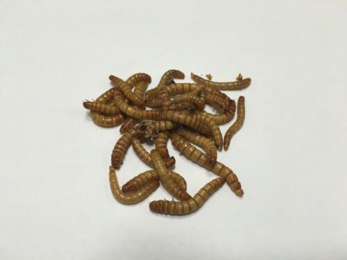 Live Mealworms  (1000 -10,000 All Sizes) -- Free Shipping