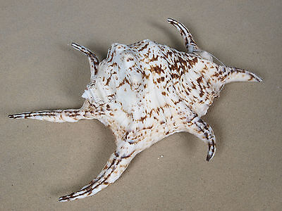 Muschel Schnecke Lambis Chiragra ca. 20 cm groß Sonderpreis