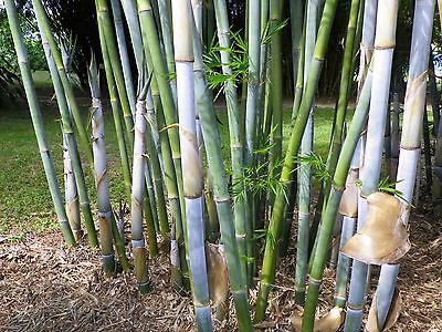 100+ fresh Blue Timber Bamboo Seeds with ...