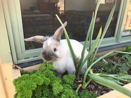 Sassanach the Bunny