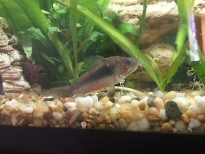 2 adult Cory cats