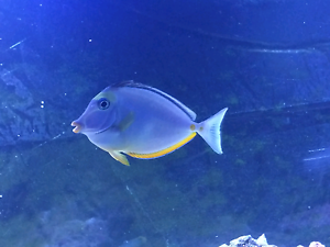 lipstick tang marine saltwater fish for sale Sunshine Brimbank Area Preview