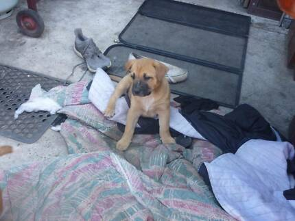 american staffy + stumpy tail red cattle puppies for sale!!!!