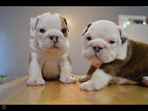 British bulldog puppies Spreyton Devonport Area Preview