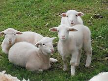 Dorper lambs Tanunda Barossa Area Preview