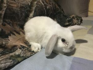 One holland lop bunny left!
