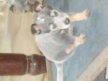 BLUE AND A RED CATTLE PUPS NEED GOOD HOMES Grandchester Ipswich City Preview