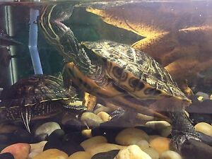 2 Red Ear Slider Turtles + Accessories