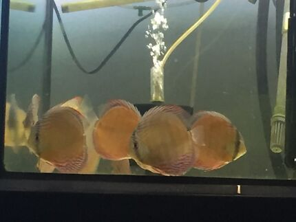 WILD BLUES and WILD HECKLES DISCUS for sale  Como South Perth Area Preview