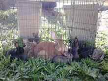 Stunning rabbits for sale Campbell Town Northern Midlands Preview