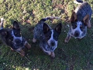Purebred Australian Cattle Pups Tamworth Tamworth City Preview