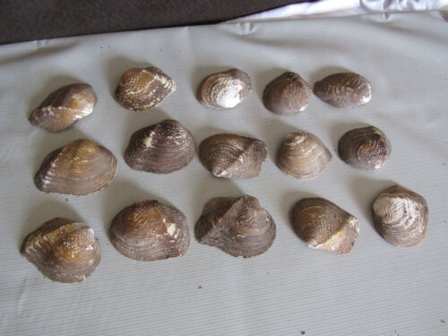 Lot of 15 Fifty Year Mother of Pearl Unpolished Freshwater Mussel Shell Amber
