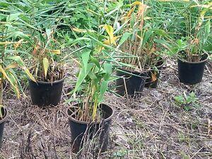 Tiger grass Byron Bay Byron Area Preview