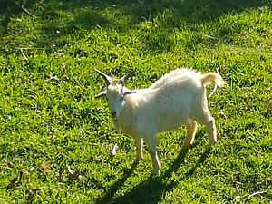 Miniture Goat North Avoca Gosford Area Preview