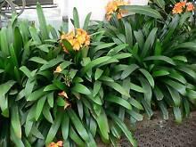 Clivia plants for sale Cottesloe Cottesloe Area Preview