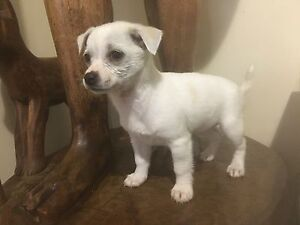 Chihuahua x Maltese puppy for sale Werribee Wyndham Area Preview