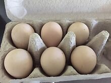 Fertile Guinea Fowl eggs Aspley Brisbane North East Preview
