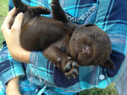 Labrador Puppies / Only 2 Chocolate Boys left Belli Park Noosa Area Preview