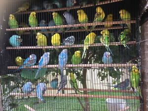 Various Coloured Budgies for Sale