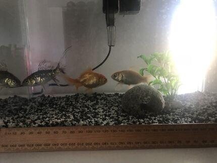 Medium/large goldfish to a good home
