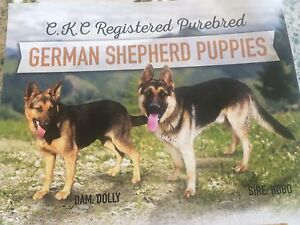 CKC REG PUREBRED GERMAN SHEPHERD PUPS