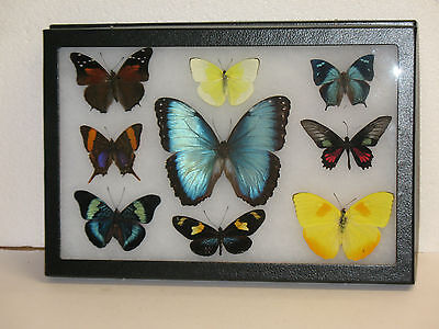 Real framed Butterfly collection from Peru #2