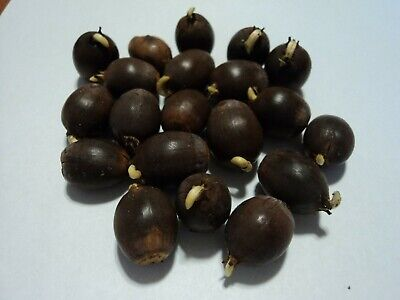 Sprouting White Oak Acorns From 100+ year old Tree Super Fresh Excellent Quality