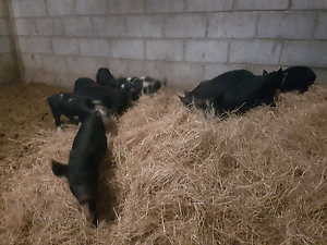 Berkshire cross piglets Mandurah Mandurah Area Preview