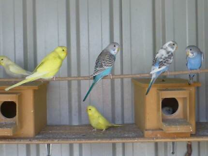 YOUNG BUDGIES Kearneys Spring Toowoomba City Preview