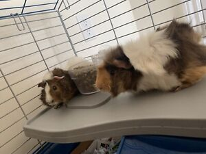 Two female guinea pigs, cage, food, bowls & water bottles