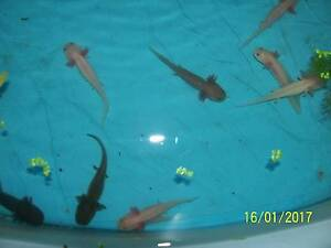 axolotls 9-11 m cm long $10 each Parafield Gardens Salisbury Area Preview